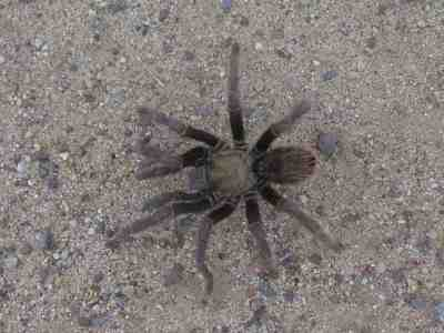 California Black Tarantula