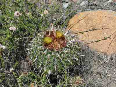 Coast Barrel Cactus